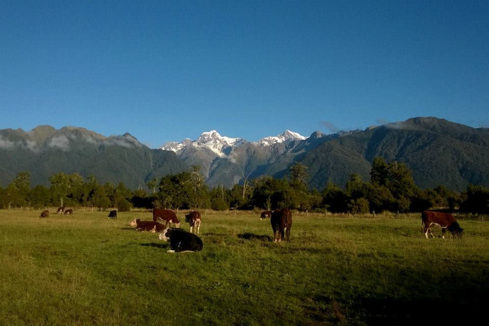 NZ Travel Mt Tasman and Mt Cook with cows